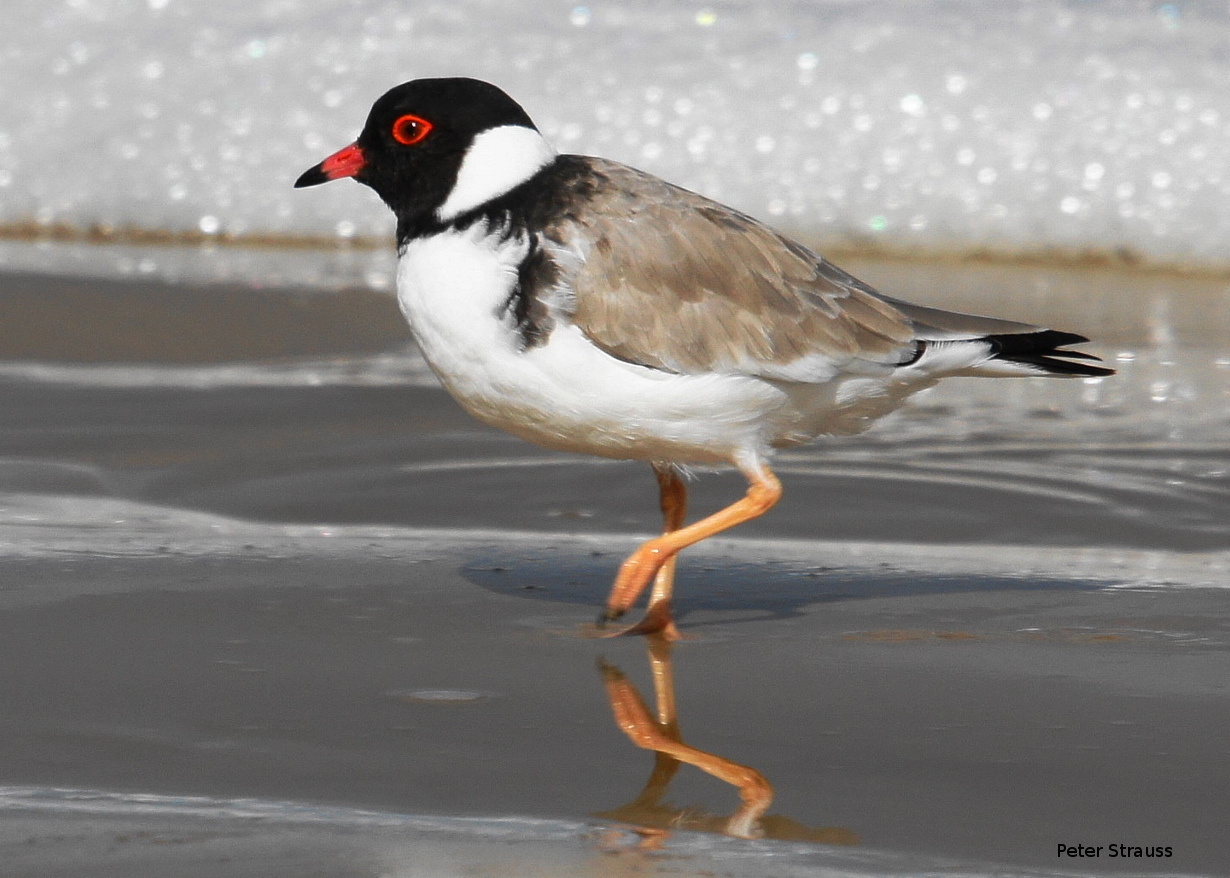 Image result for hooded plover
