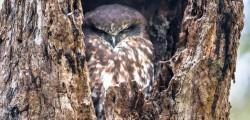 Boobook Owl2